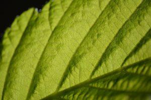 les bienfaits de la chlorophyle