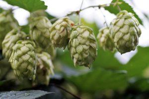 les bienfaits de la levure de bière