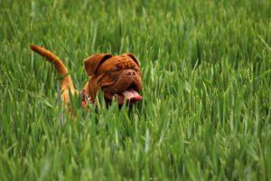les plantes dangereuses pour les chiens