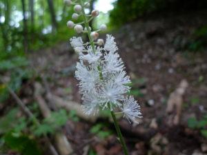 actée à grappe noire en fleur