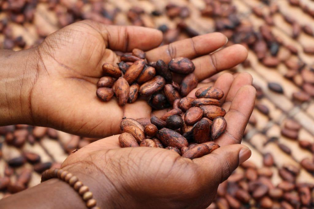 Le cacaoyer et ses avantages pour la peau