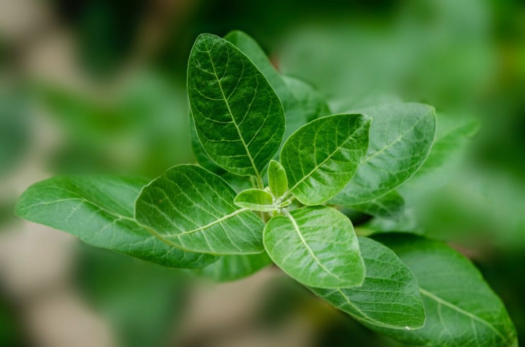 Everything about Ashwagandha, this medicinal plant from India