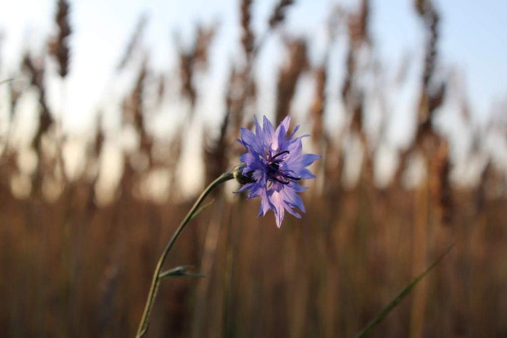 fleur de bleuets