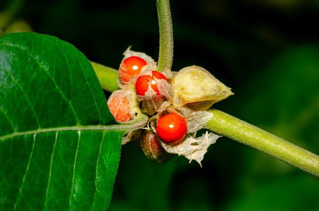 fruits rouges ginseng indien