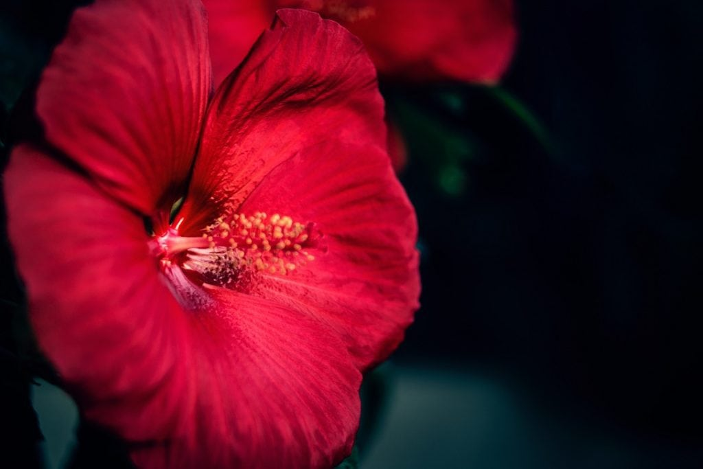 hibiscus et hypertension