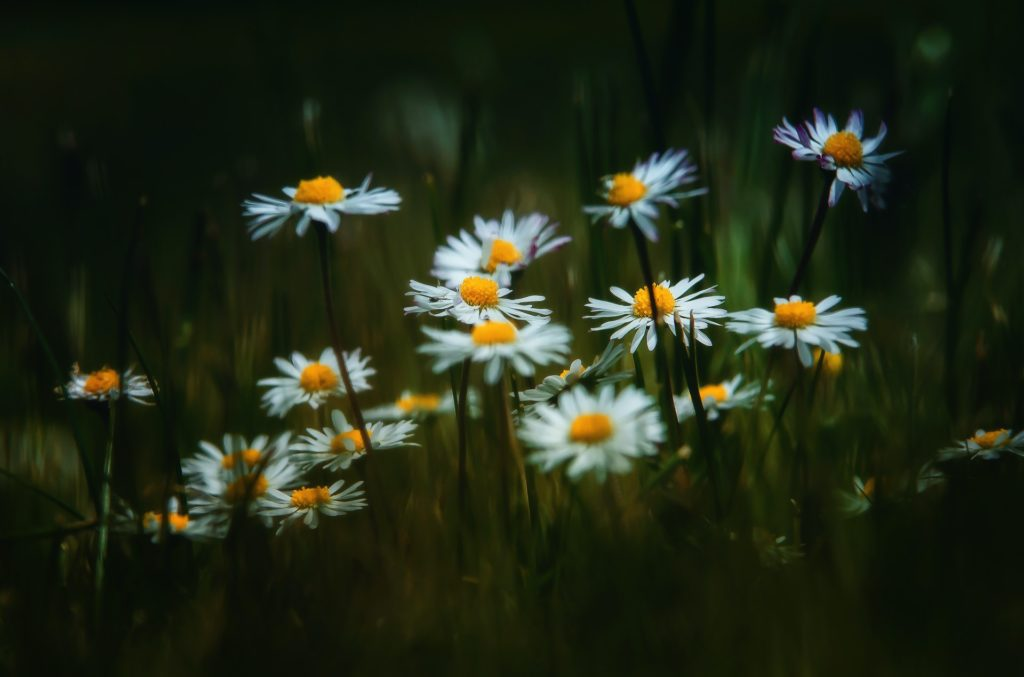 fleurs de camomille