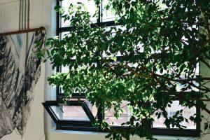 Figuier pleureur - une plante purificatrice d'air